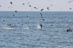 Pesca degli uccelli di mare Fotografia Stock