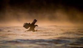 Pesca del águila calva imagen de archivo libre de regalías