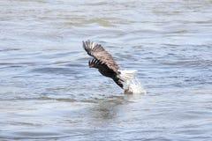 Pesca del águila calva Foto de archivo libre de regalías