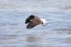 Pesca del águila calva Fotos de archivo