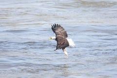 Pesca del águila calva Fotografía de archivo libre de regalías
