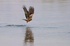 Pesca del cervo volante nero Immagine Stock Libera da Diritti