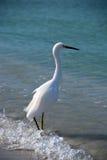 Pesca del Egret Fotografia Stock