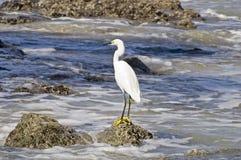Pesca del egret di Snowy dall'Oceano Pacifico fotografia stock