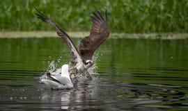 Pesca del falco pescatore in Maine fotografie stock