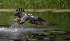 Pesca del falco pescatore in Maine immagine stock