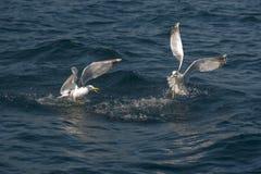 Pesca del gabbiano Fotografia Stock