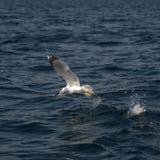 Pesca del gabbiano Immagine Stock Libera da Diritti