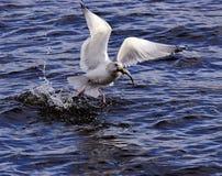 Pesca del gabbiano di mare Fotografie Stock Libere da Diritti
