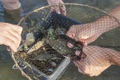Pesca del granchio Immagini Stock