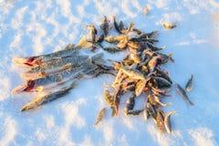 Pesca del invierno, buena captura de pescados en invierno en el hielo, siccess del pescador Imagenes de archivo