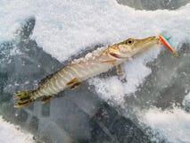 Pesca del invierno del hielo Fotos de archivo libres de regalías