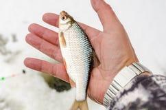Pesca del invierno, pescado en las manos del pescador fotografía de archivo libre de regalías