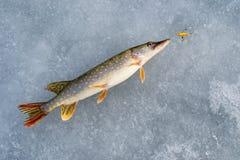 Pesca del luccio nell'inverno dal ghiaccio fotografie stock