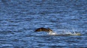 Pesca del osprey o del falco Fotografia Stock Libera da Diritti