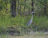 Pesca del pájaro de la garza en el río imagenes de archivo
