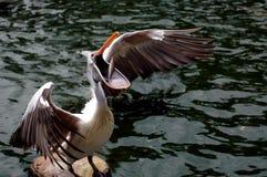Pesca del pelícano Imágenes de archivo libres de regalías