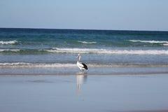 Pesca del pelícano en la playa Foto de archivo