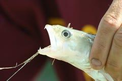 Pesca del pesce persico Immagini Stock