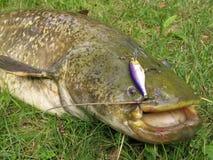 Pesca del siluro Imagenes de archivo