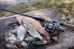 Pesca del trofeo Brema de bronce de agua dulce grande o brema de la carpa, brema blanca o brema y ca?a de pescar de plata con el  foto de archivo