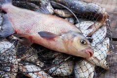 Pesca del trofeo Pescados comunes de agua dulce grandes de la brema en red de aterrizaje foto de archivo