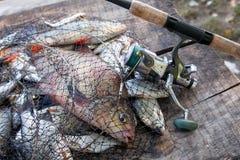 Pesca del trofeo Pescados de la brema de agua dulce y brema de plata en red de aterrizaje con la captura de la industria pesquera imagen de archivo