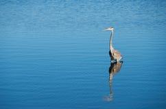 Pesca dell'airone Fotografie Stock Libere da Diritti