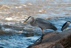 Pesca dell'airone di grande azzurro Fotografie Stock