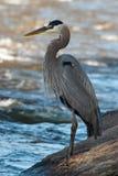 Pesca dell'airone di grande azzurro Fotografie Stock Libere da Diritti