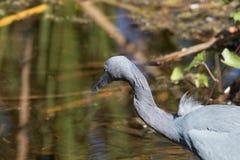 Pesca dell'airone di piccolo azzurro fotografia stock libera da diritti