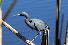 Pesca dell'airone di piccolo azzurro immagini stock