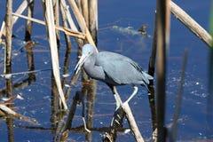 Pesca dell'airone di piccolo azzurro fotografie stock libere da diritti