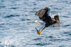 Pesca dell'aquila di mare di Steller adulto Fondo blu dell'oceano fotografia stock