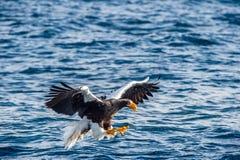 Pesca dell'aquila di mare di Steller adulto Nome scientifico: Pelagicus del Haliaeetus Fondo blu dell'oceano fotografie stock