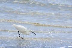 Pesca dell'egretta (garzetta dell'egretta) sull'estuario Immagini Stock
