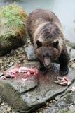 Pesca dell'orso bruno Fotografie Stock