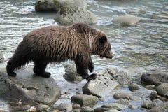 Pesca dell'orso bruno Immagini Stock Libere da Diritti