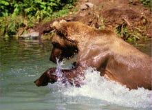 Pesca dell'orso dell'orso grigio (horribilis di arctos del Ursus) Fotografia Stock Libera da Diritti