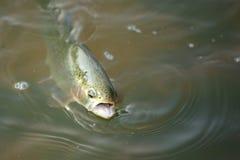 Pesca della trota fotografia stock libera da diritti