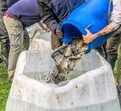 Pesca dello stagno in Roetgesbuettel, trasferimento del pesce pescato in una vasca di decantazione Immagine Stock Libera da Diritti
