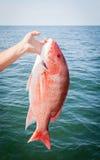 Pesca deportiva costa afuera: Pargo rojo Fotos de archivo