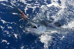 Pesca deportiva de la paparda verdadera hermosa del marlin blanco fotografía de archivo libre de regalías