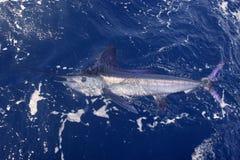 Pesca deportiva de la paparda verdadera hermosa del marlin blanco fotos de archivo