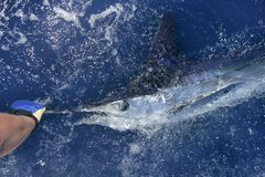 Pesca deportiva de la paparda verdadera hermosa del marlin blanco Imágenes de archivo libres de regalías