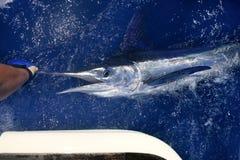 Pesca deportiva del gran juego atlántico del marlin blanco foto de archivo