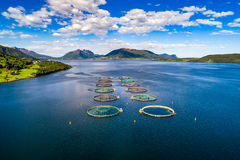 Pesca di color salmone dell'azienda agricola Fotografie Stock