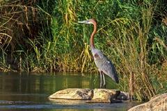 Pesca di Goliath Heron Immagini Stock Libere da Diritti