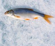 Pesca di inverno. Appena il pesce bloccato si trova su ghiaccio. Immagini Stock Libere da Diritti