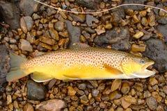 Pesca di mosca, bella trota di Brown Fotografie Stock Libere da Diritti